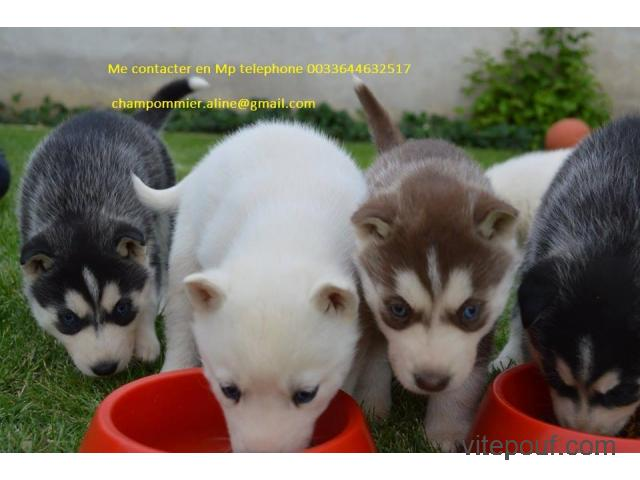 Disponibles 3 chiots husky sibérien
