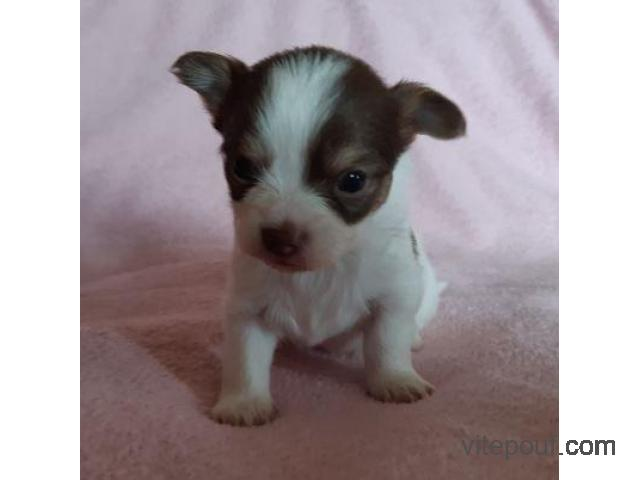 Donation d'un Chiot Chihuahua Femelles.