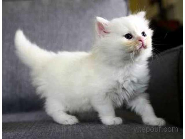 Chaton British Longhair A Donner Contre Bon Soin Paolahardy1002 Outlook Fr Annonce Classee Quebec Vitepouf Com