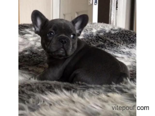 French bulldog available now