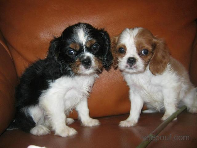 Cavalier king Charles spaniel puppies available now