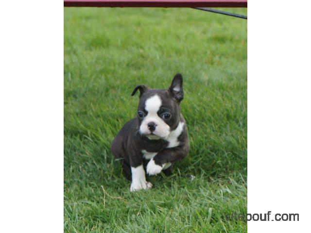 Don Adorable Chiot Boston Terrier Femelle