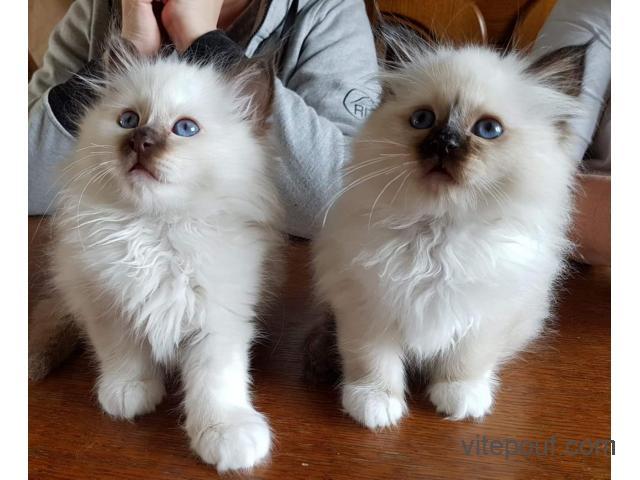2 magnifiques chatons type sacré de Birmanie
