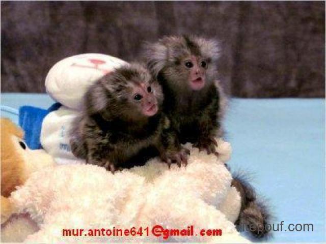 Deux bébés singes ouistiti