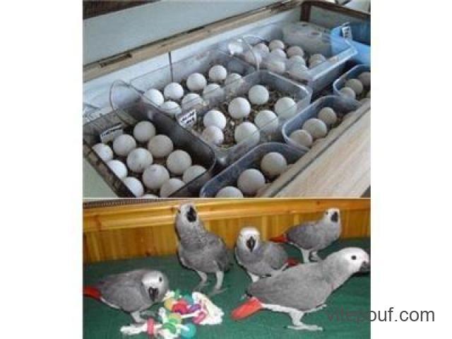 Perroquets et œufs de perroquet fertiles à vendre