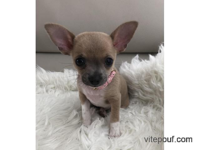 Chihuahua un mâle et une femelle