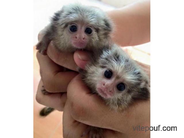 Bébés singe Capucin et Ouistiti