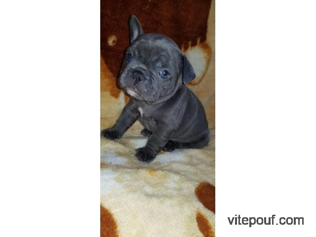 Adorable blue french Bulldogs ready to go