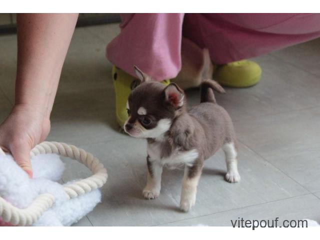 chiot type Chihuahua a ceder
