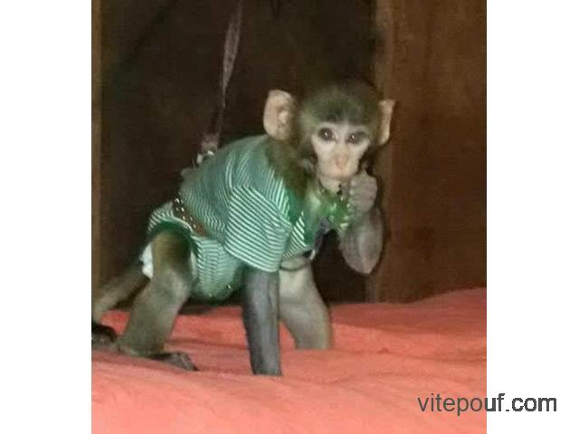 BEBE SINGE RHESUS MACAQUE DISPONIBLE POUR ADOPTION