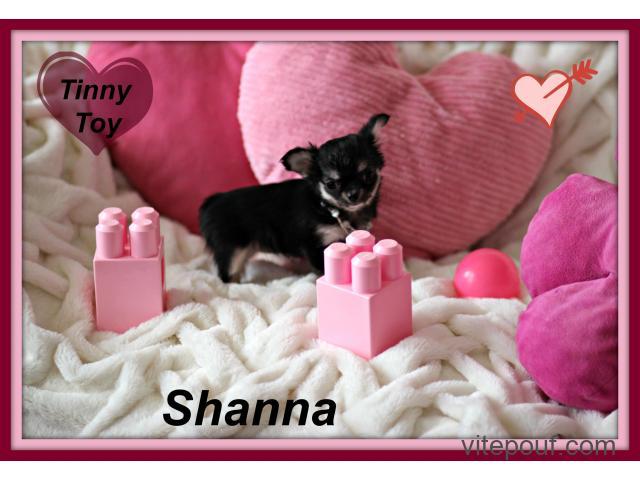 Chihuahua femelle et mâle  mini petit chien de sacoche Top Qualité