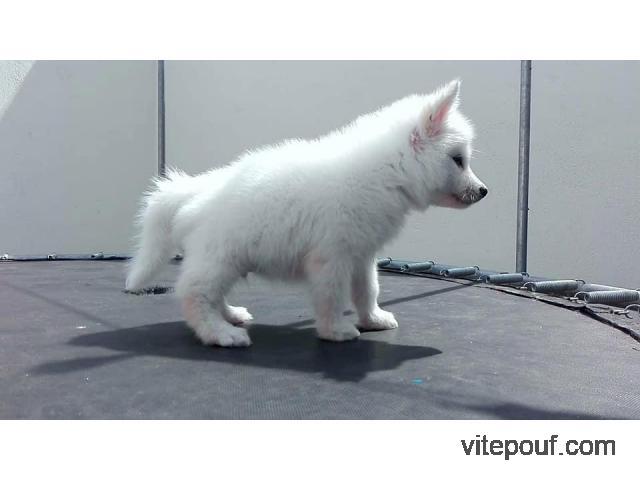 A vendre Chiot de race Husky Sibérien