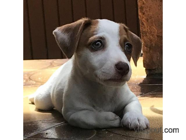 A donner Chiot type jack russel terrier male