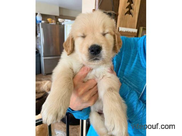 Chiot Labrador RETRIEVER femelle