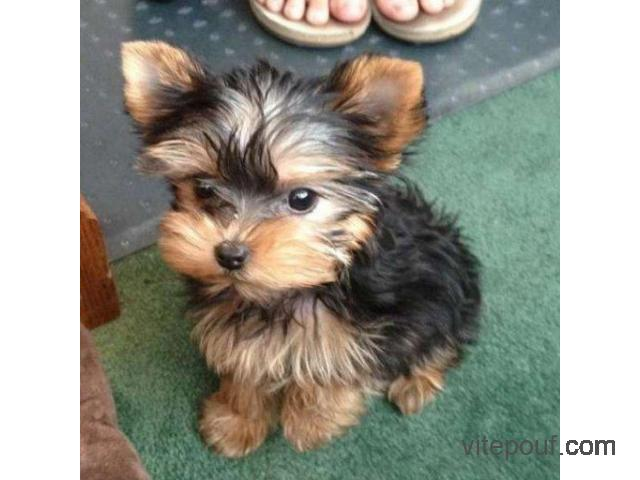 3 Chiots Yorkie adorables
