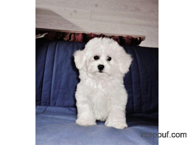 Don de adorable chiot bichon blanc frise