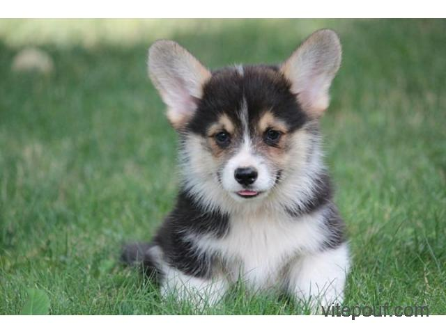 Adorable welsh corgi