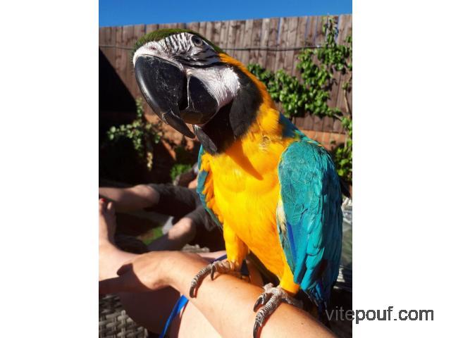 Perroquet Ara Ararauna bleu