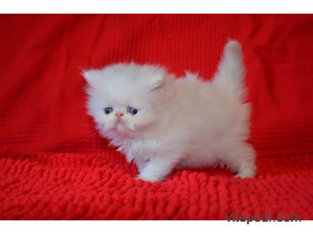 Adorable petite chaton type persan chinchilla femelle
