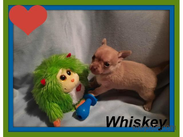 Chihuahua mâle  ,poils court Garantie Top Qualité