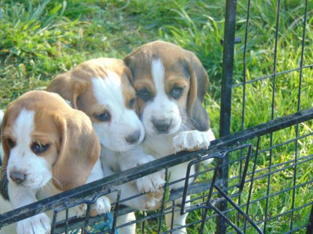 Petites chiot type Beaggle Femelle et male