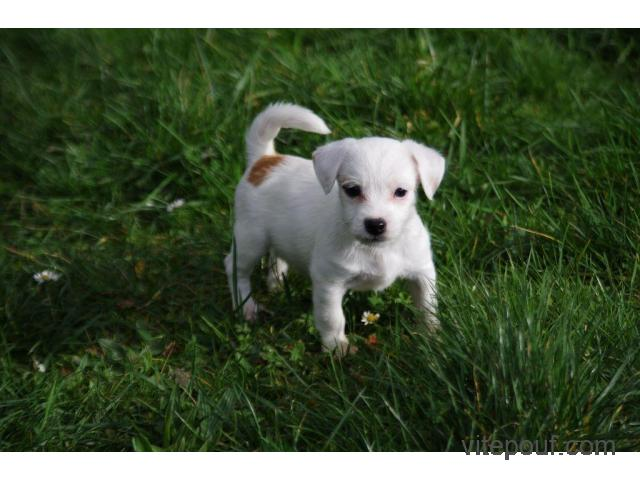 Sublime Chiot Jack Russell