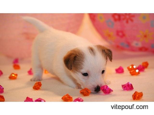 chiot type Jack Russel Terrier Femelle