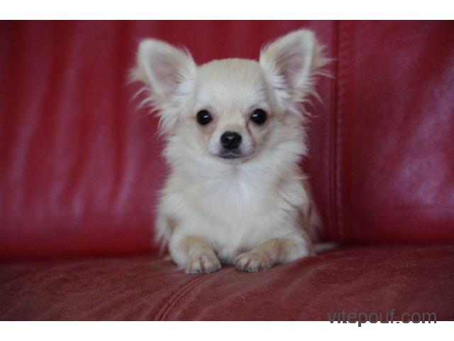 Donne Sublime Chiot Chihuahua femelle d'excellente origines