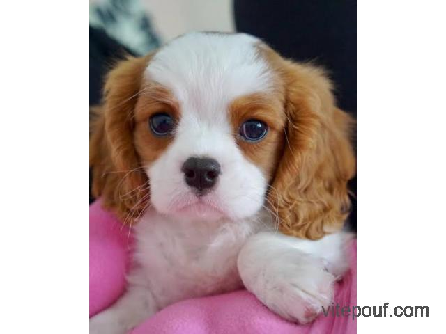 chiot cavalier King Charles  a donner