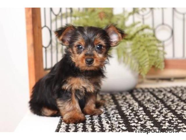 YORKIE PUPPIES Looking For A New Forever Home